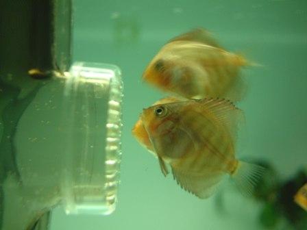 稚魚1ヶ月3週 (7).jpg